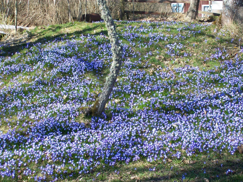 Frühlingsblumen-Scilla.