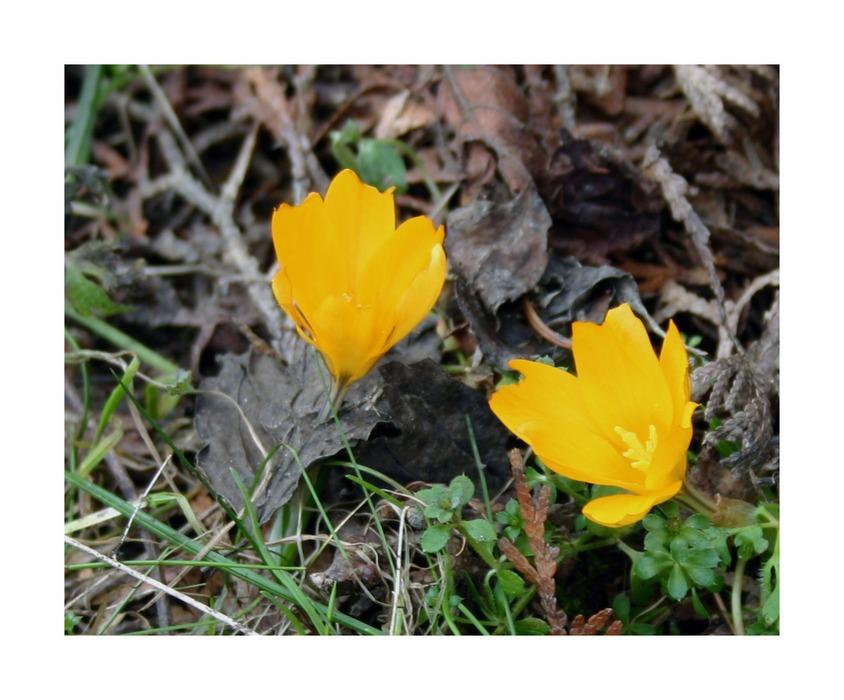 Frühlingsbote #2