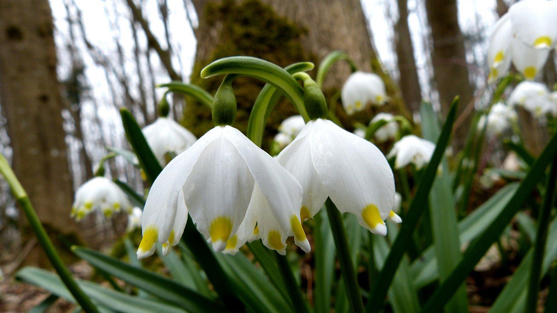 Frühlingsbote 3