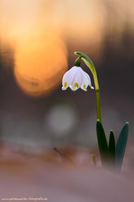 ~ Frühlingsbote ~