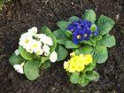 Frühlingsbote Dreifarben Priemeln