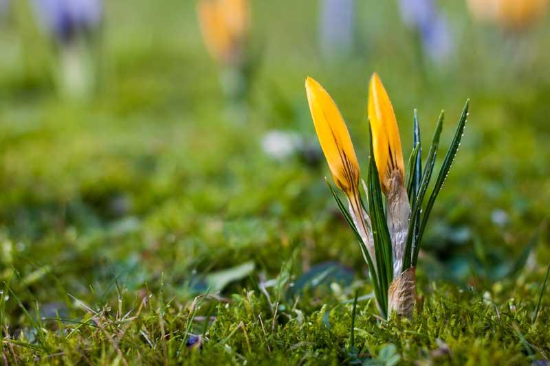 Frühlingsbote...