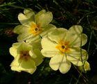 Frühlingsbote in der Wiese gefunden