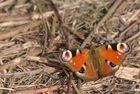 Frühlingsbote: Inachis io - Tagpfauenauge...