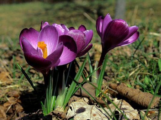 Frühlingsboten 01