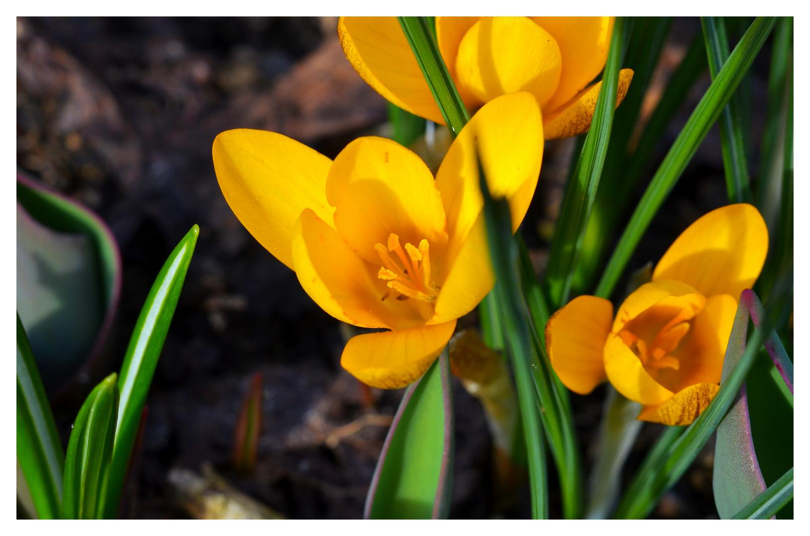 Frühlingsboten (1)