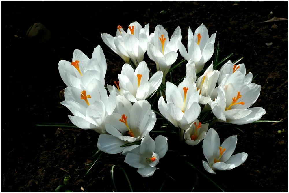 Frühlingsboten (2)