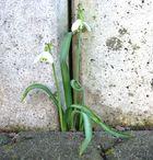 Frühlingsboten unter erschwerten Arbeitsbedingungen