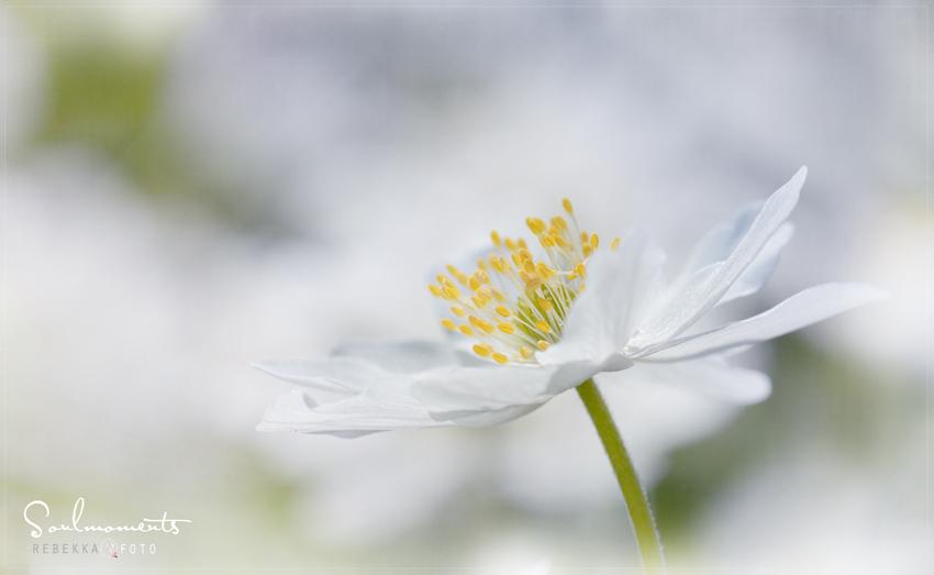 Frühlingsbotin