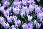 Frühlingsbringer