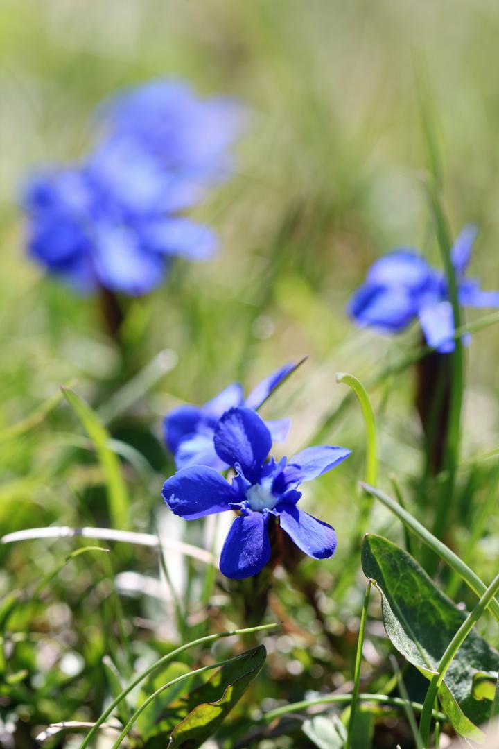 Frühlingsenzian