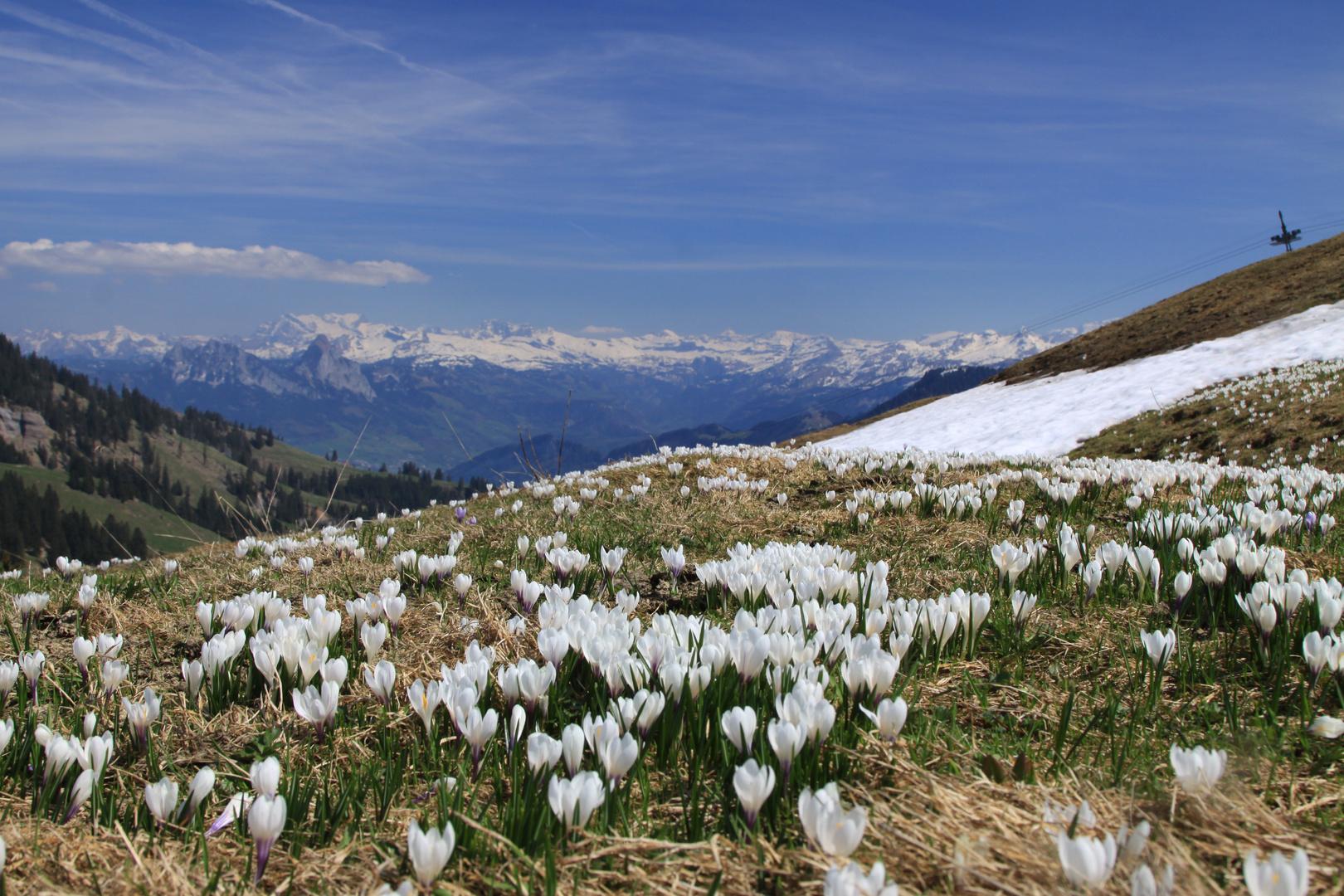 Frühlingserwachen auf der Rigi, der Königin der Berge