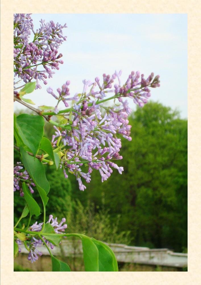 Frühlingserwachen - blühender Flieder