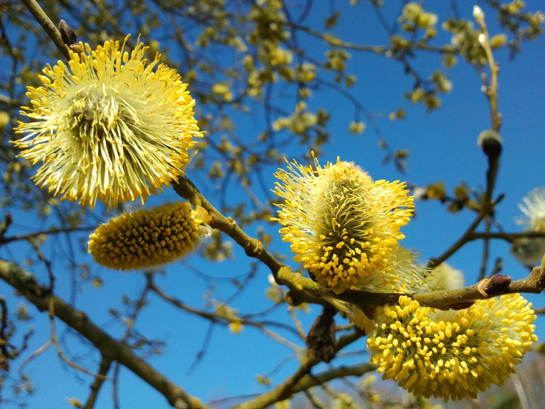 Frühlingserwachen einer Weide