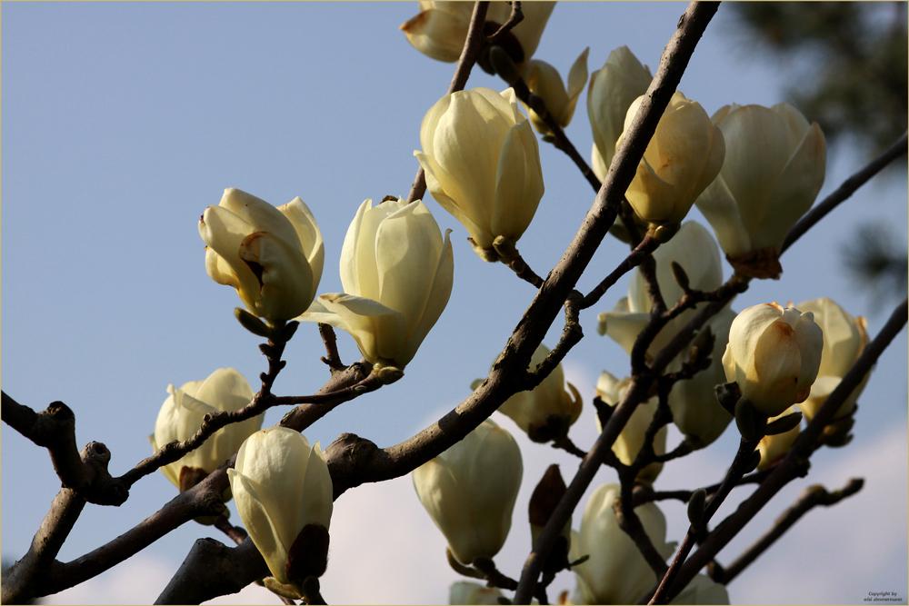Frühlingserwachen!      Endlich blühen sie.