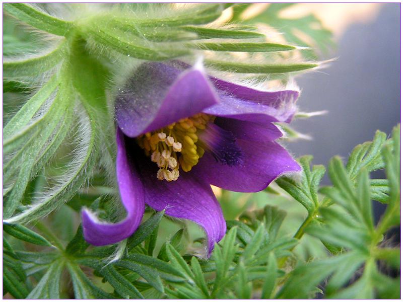 Frühlingserwachen ~ Kuhschelle (Pulsatilla vulgaris) #2