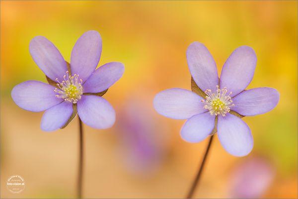 Frühlingsfarben Leberblümchen