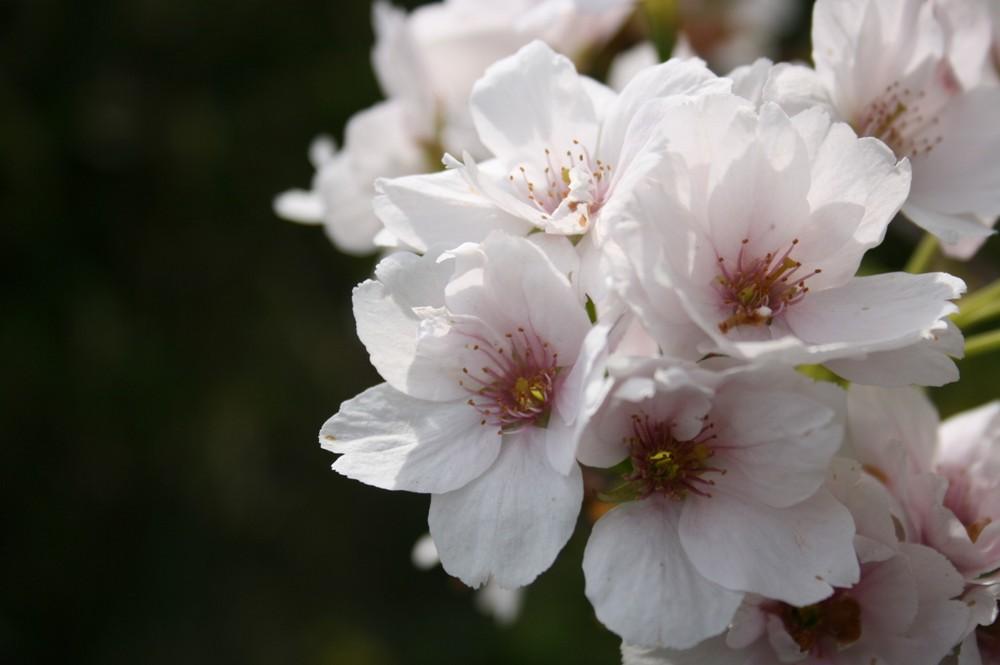 Frühlingsfrische Kirschblüten