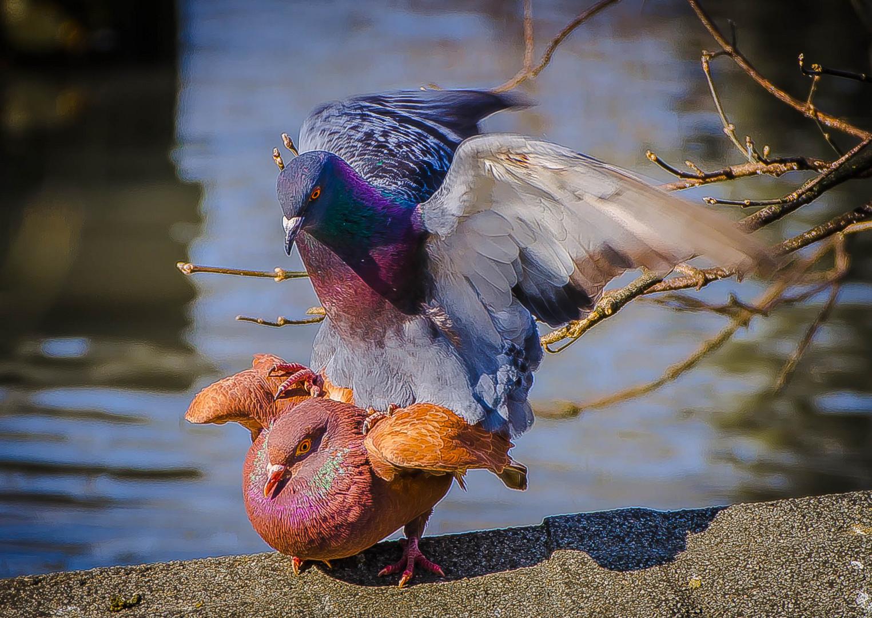Frühlingsgefühle bei Tauben