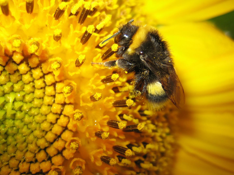 Frühlingsgefühle der Biene