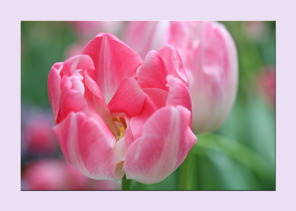 Frühlingsgrüße in rosé