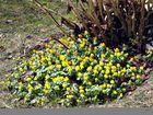 Frühlingsgruß am Gartenrand