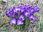 Frühlingsgruß vor dem erneuten Wintereinbruch....