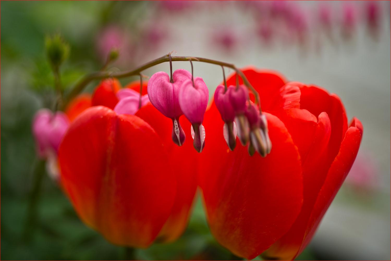 Frühlingsherzen