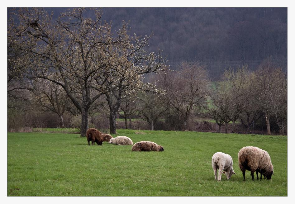 Frühlingsidyll mit Schafen