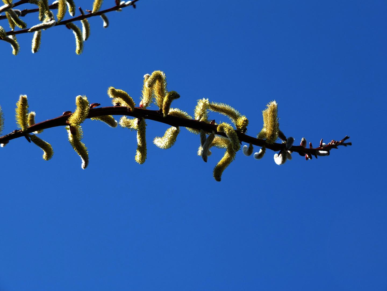 Frühlingskätzchen