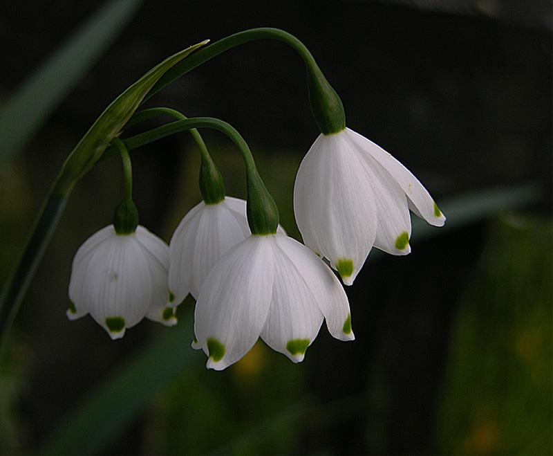 fr hlingsknotenblume foto bild pflanzen pilze flechten bl ten kleinpflanzen. Black Bedroom Furniture Sets. Home Design Ideas
