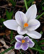 Frühlingskrokusse