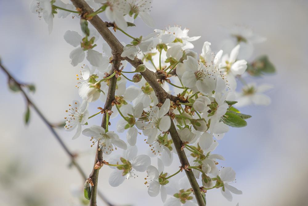 Frühlingsmirabellenzweigle