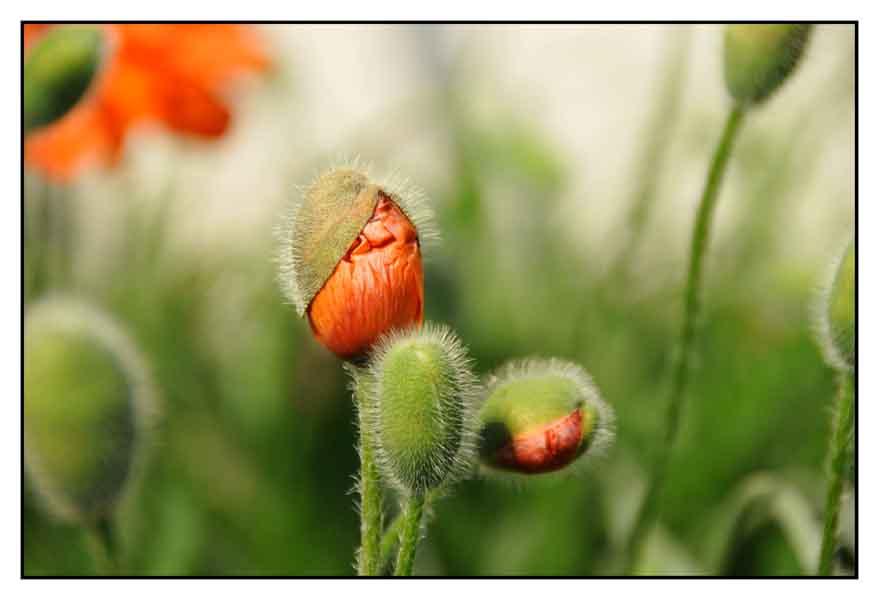 Frühlingsmohn