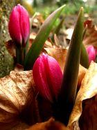 Frühlingspink