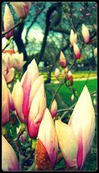 Frühlingsschönheit