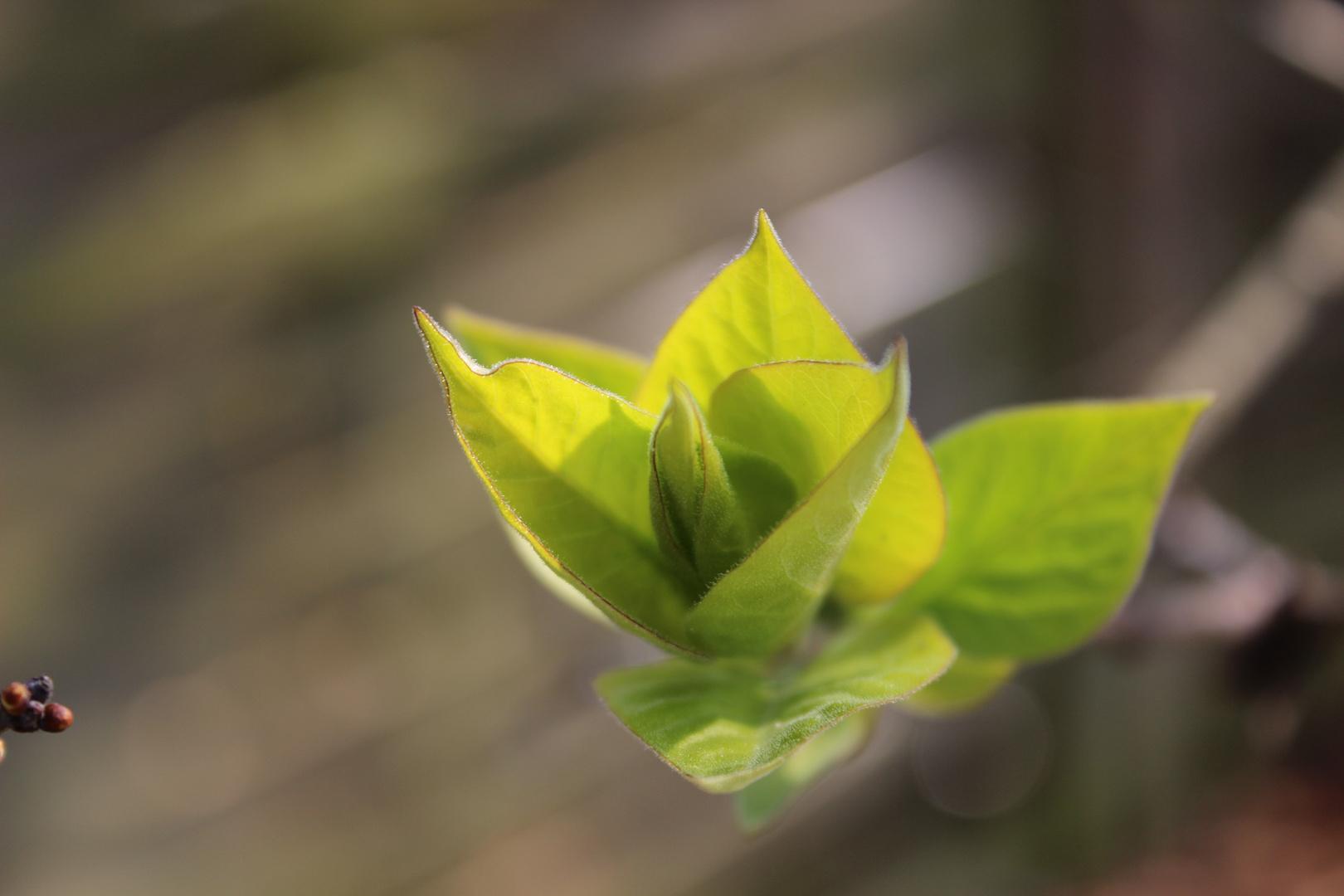 Frühlingsspross