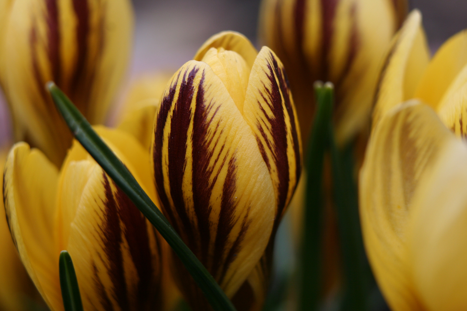 Frühlingstiger