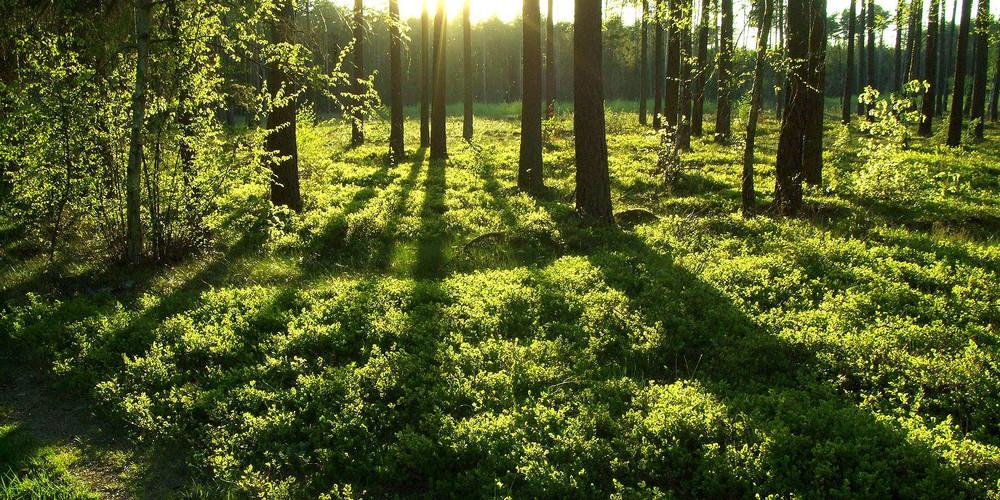 Frühlingswald in Polen
