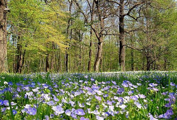 Frühlingswiese im Wald