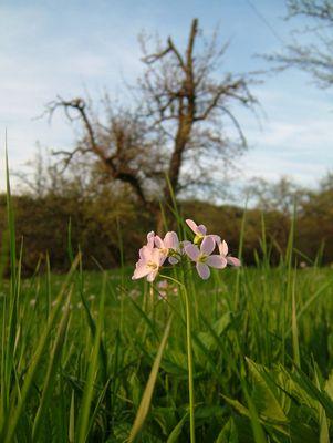 Frühlingswiesenblume...