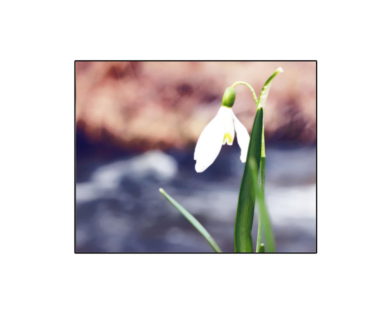 Frühlingszauber oder ein Schneeglöckchen am Bach