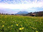 Frühlingszeit / Löwenzahnzeit im Allgäu / Burgberg