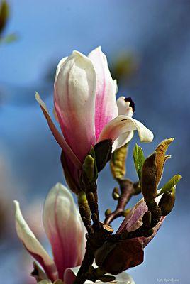 Frühlingszeit - Magnolienzeit