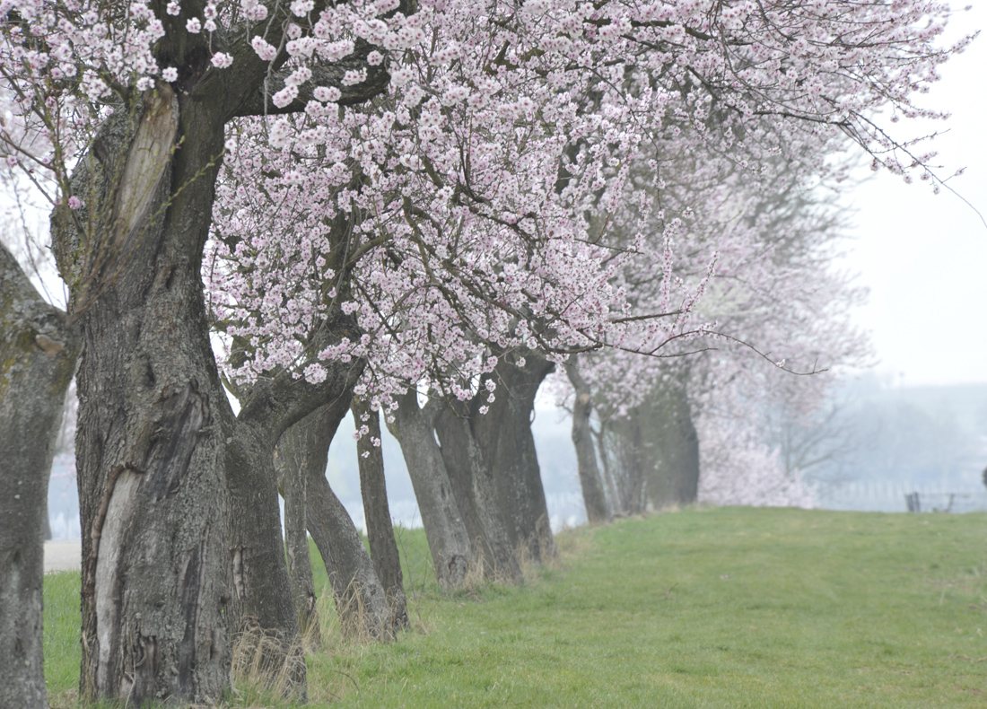 Frühluing an der deutschen Weinstrasse