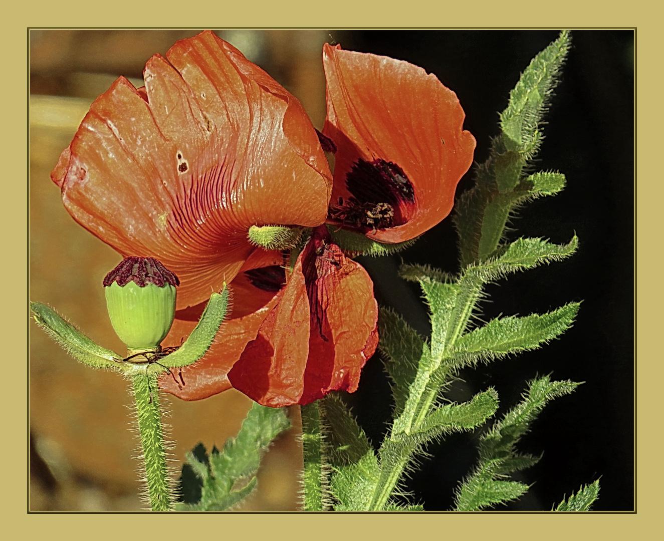Frühmorgensonne für Schlafmohn, solch' schöne Pflanze !!!,