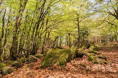 Frühsommerwald in den Vogesen