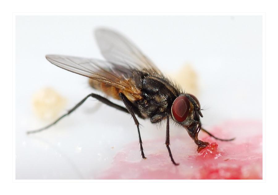 Frühstück einer Fliege
