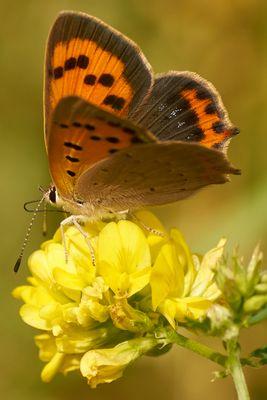 Frühstück eines Schmetterlings