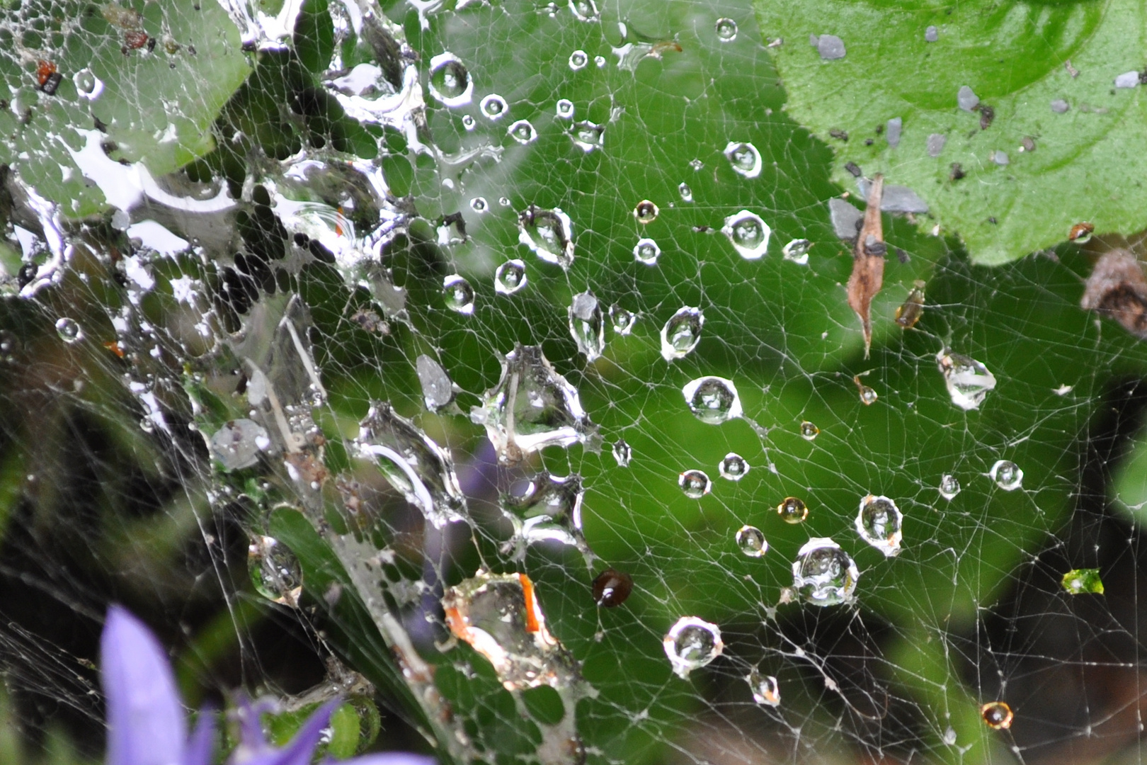 Frühtau im Spinnennetz